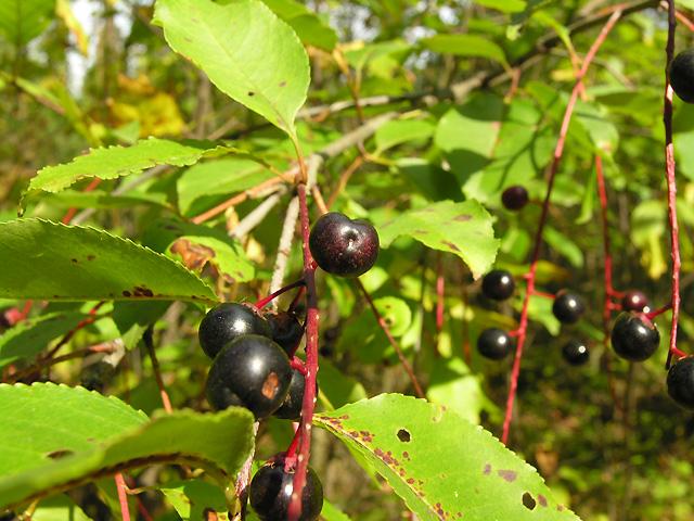 przyozdobione drzewa owocami