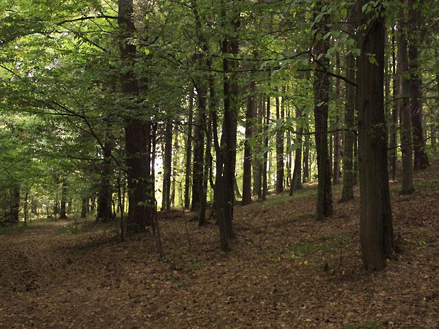 bukowy las, wejście pod górę